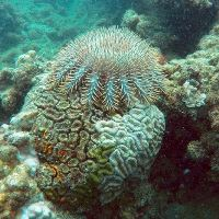 Crown-of-thorns starfish feeding on partially dead coral in the Montebello Islands. (Damian Thomson)