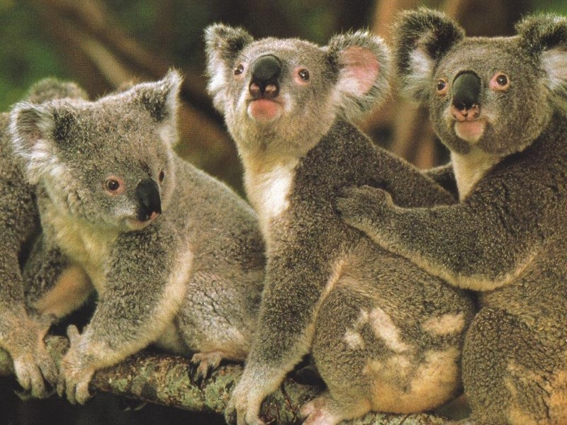 If you haven't already, you should 'enable images' to see what these Koalas have to say...