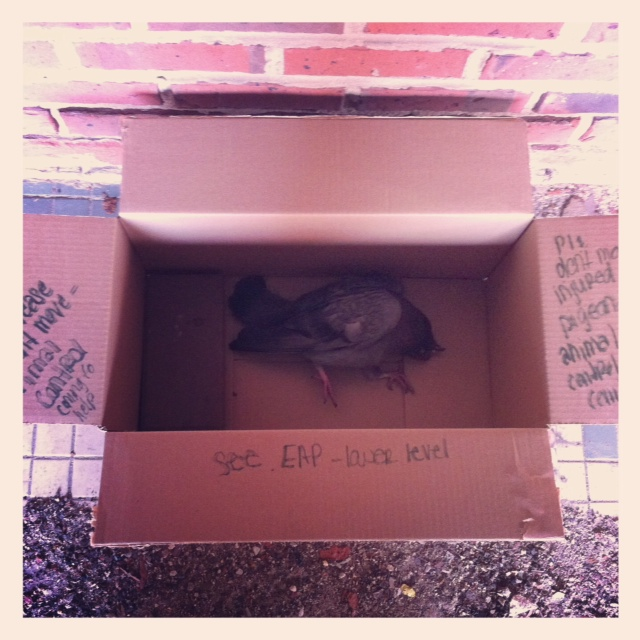 Saved Pigeon