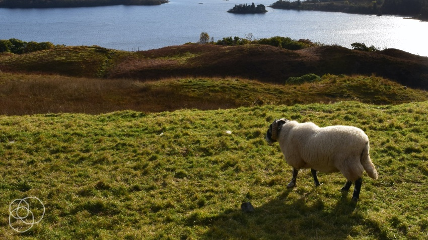 Sheep walking on a grassy hill near a mountain lake