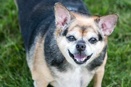 Sweetie, available for adoption from PAWS