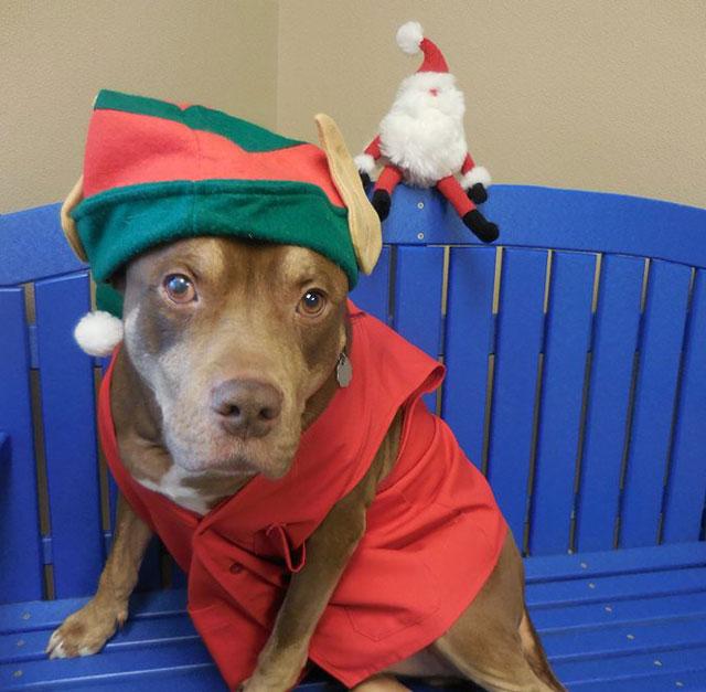 Redbone the dog dressed up as an elf