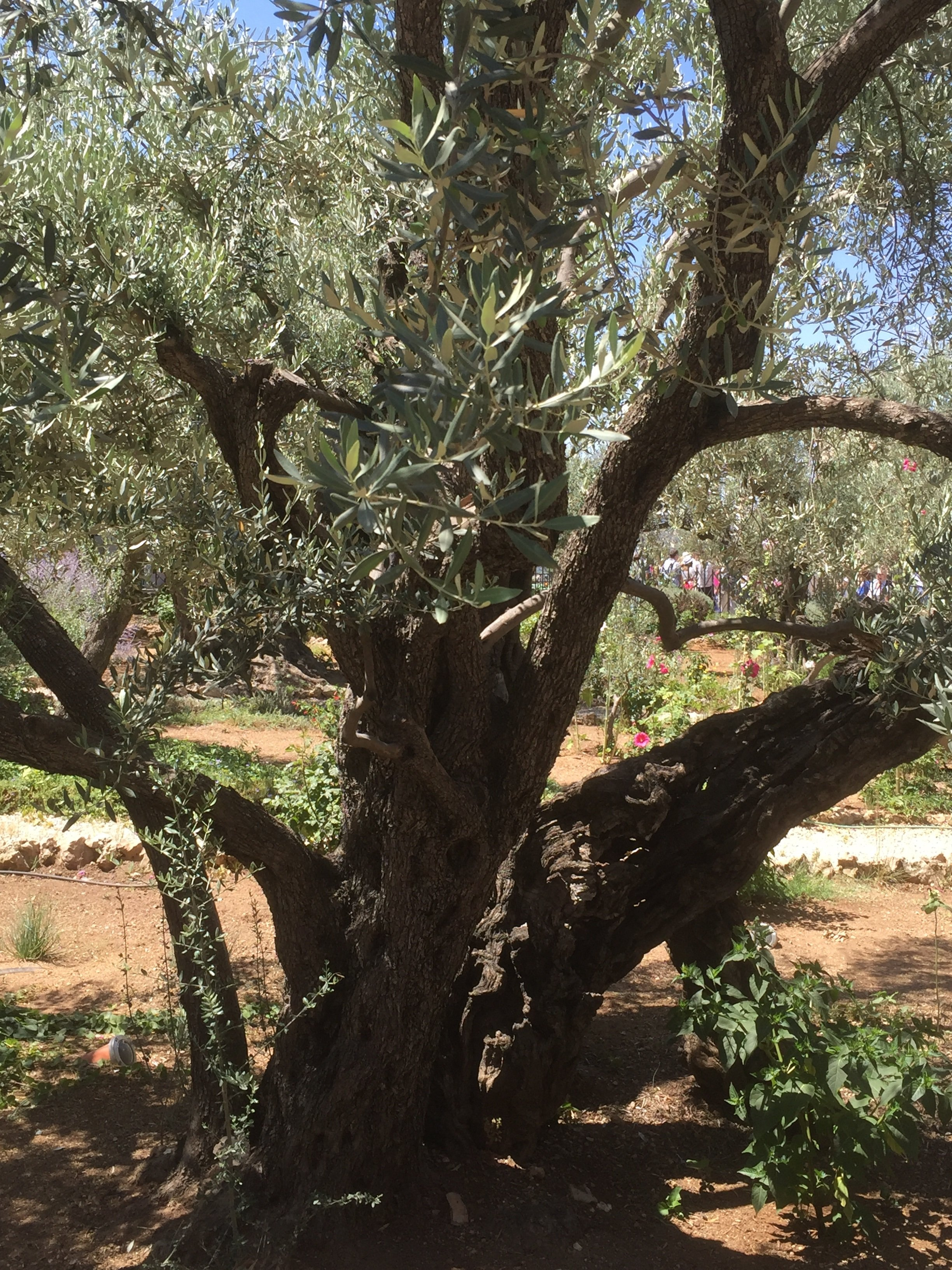 olive tree in the Holy Land
