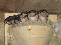 Barn Swallow Wooden Nest Cups- Set of 2