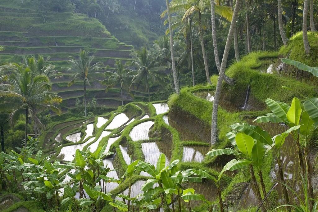 Reisefeld - Reisterasse auf Bali Rundreise - Bananenbäume Trekking und Abenteuer Reisen in Bali - Ferien buchen