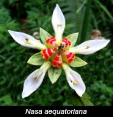 Nasa aequatoriana