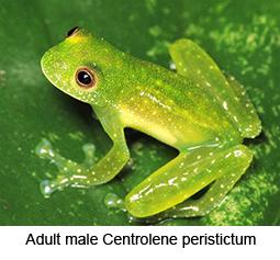 Centrolene peristictum