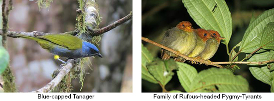 Blue-capped Tanager and Rufous-headed Pygmy Tyrants