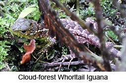 Cloud-forest Whorltail Iguana