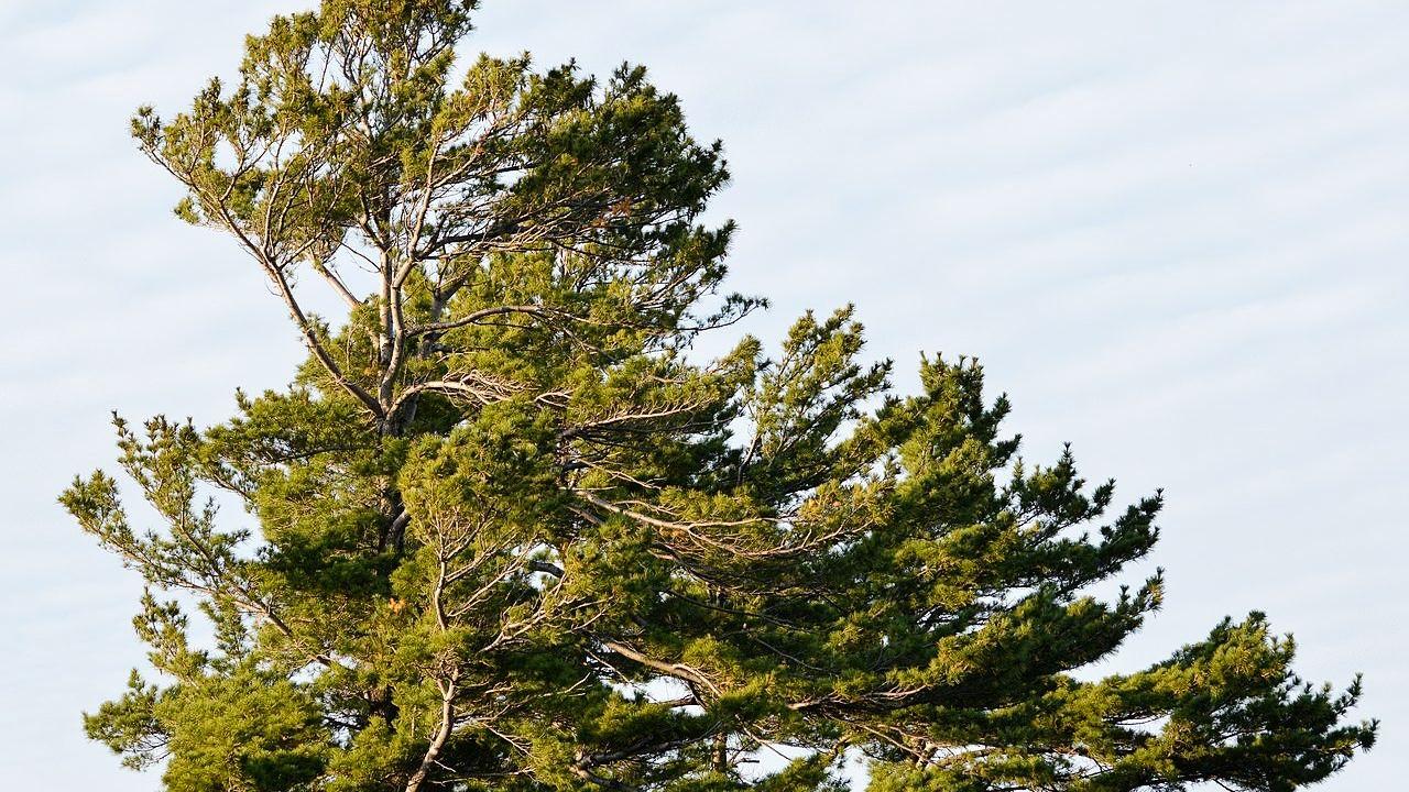 a white pine tree
