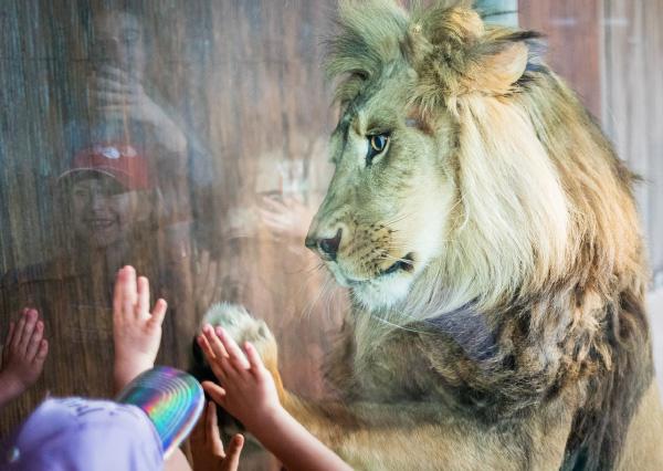 Nouvel habitat des lions