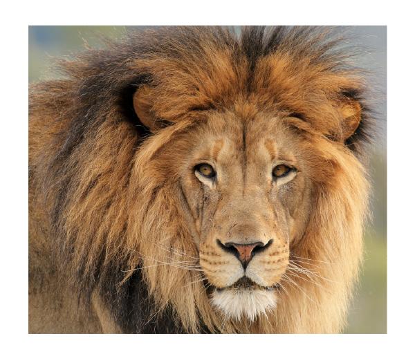 Lion - espèce menacée