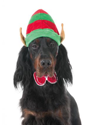 elfy dog
