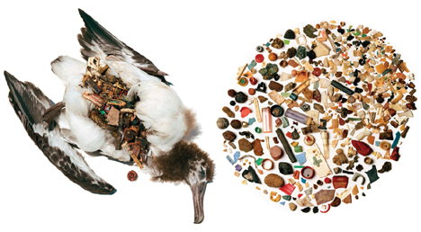 Albatross, and the plastic found inside it
