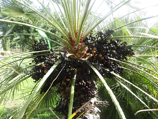Fruit on palm oil tree