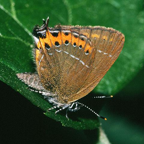 Black hairstreak butterfly
