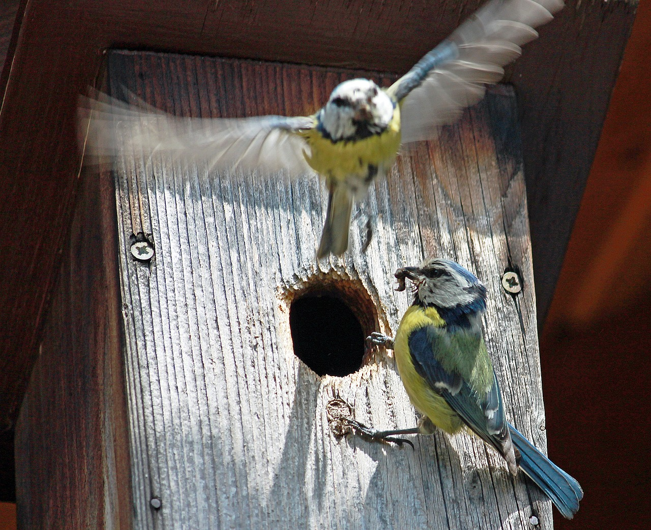 Blue tits and nest box