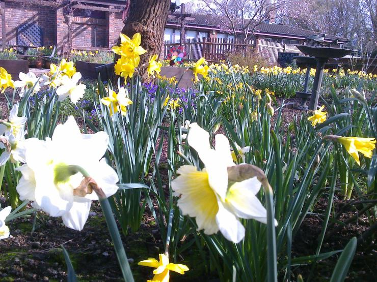 Daffodils at the Market Garden