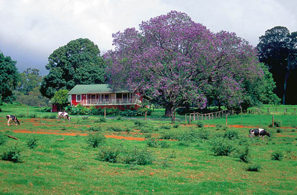Upcountry Magic - Jacaranda Tree