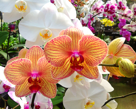 Vibrant orchid blossoms