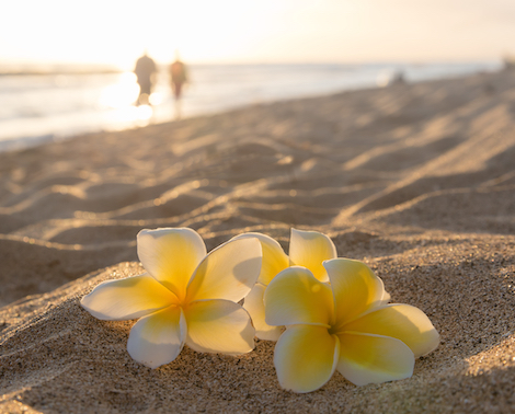 Plumeria flowers on the beach at sunset in Hawaii