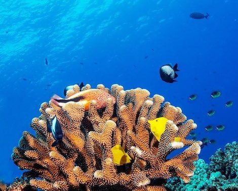 Coral and tropical reef fish under the sea in Hawaii