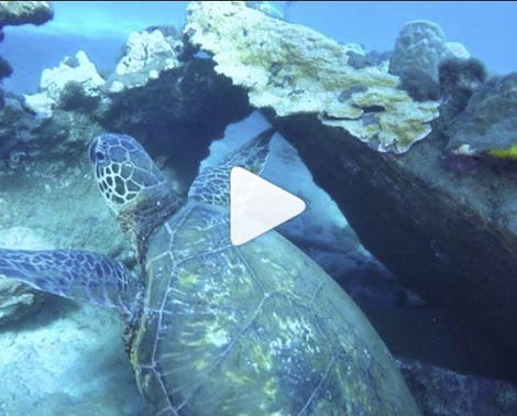 Turtle Tuesday with Pride of Maui