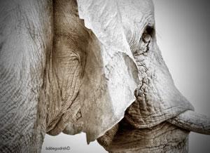 Dusted White - Elephant