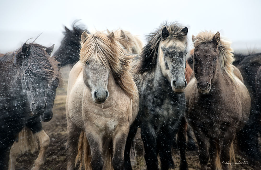 Iceland Annual Horse Round-up