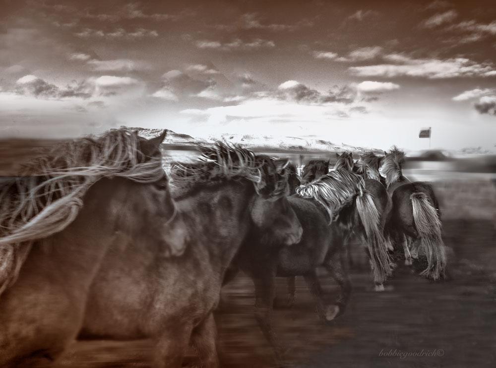 Sorting © Bobbie Goodrich 2013 (Iceland Annual Horse Round Up)