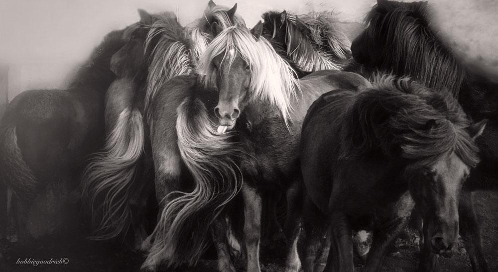 Iceland Annual Horse Round Up © Bobbie Goodrich