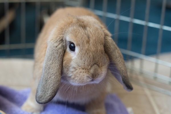 photo of brown lop rabbit