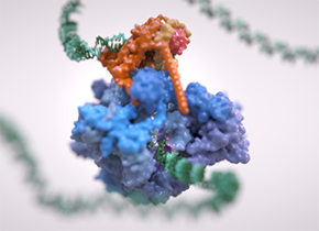 RNA polymerase III on a strand of DNA