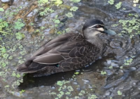 Bird survey - Pacific Black Duck - Rae Rosten