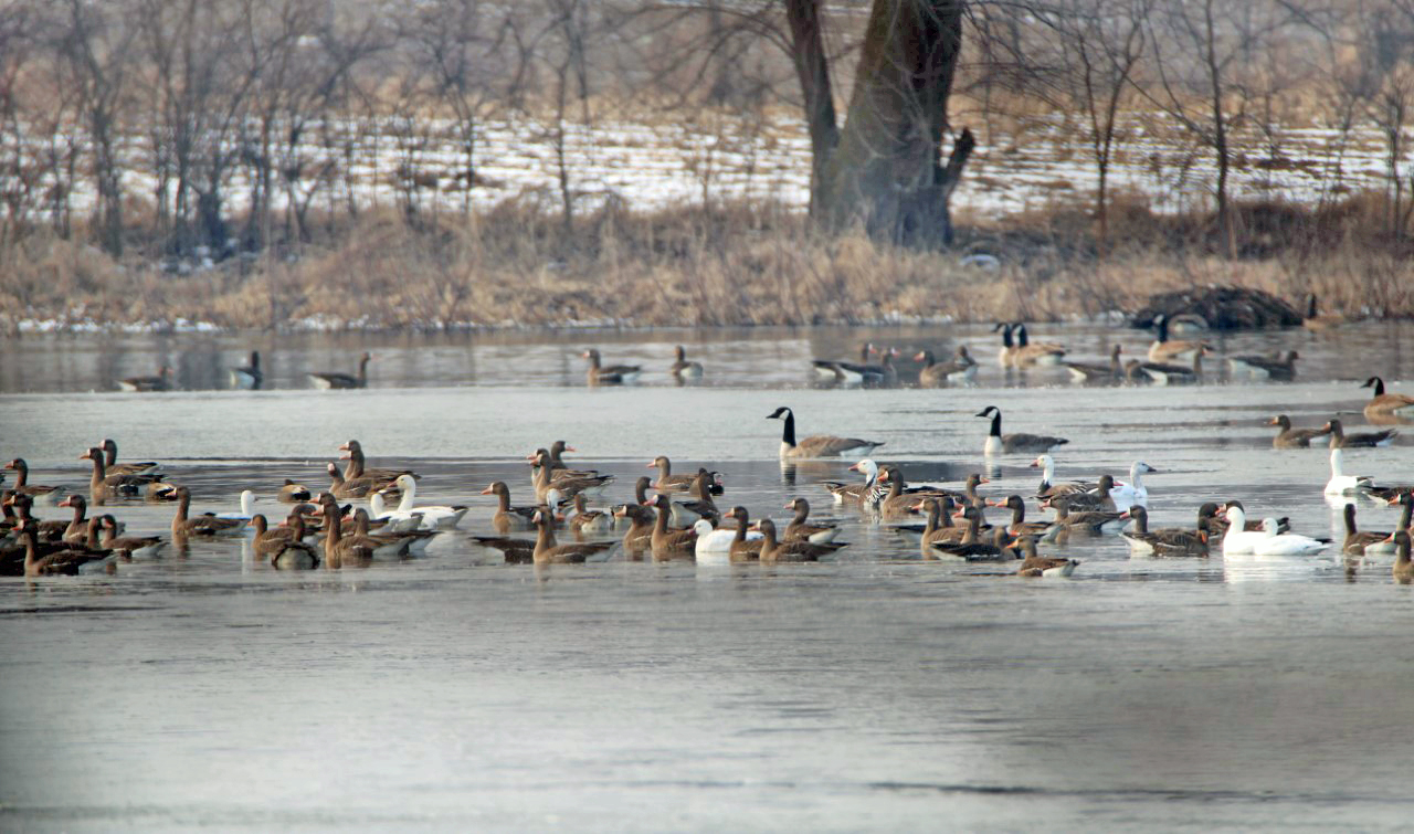 Migrating waterfowl photo by Mark Brown