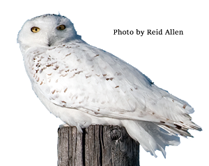 Snowy Owl - Reid Allen
