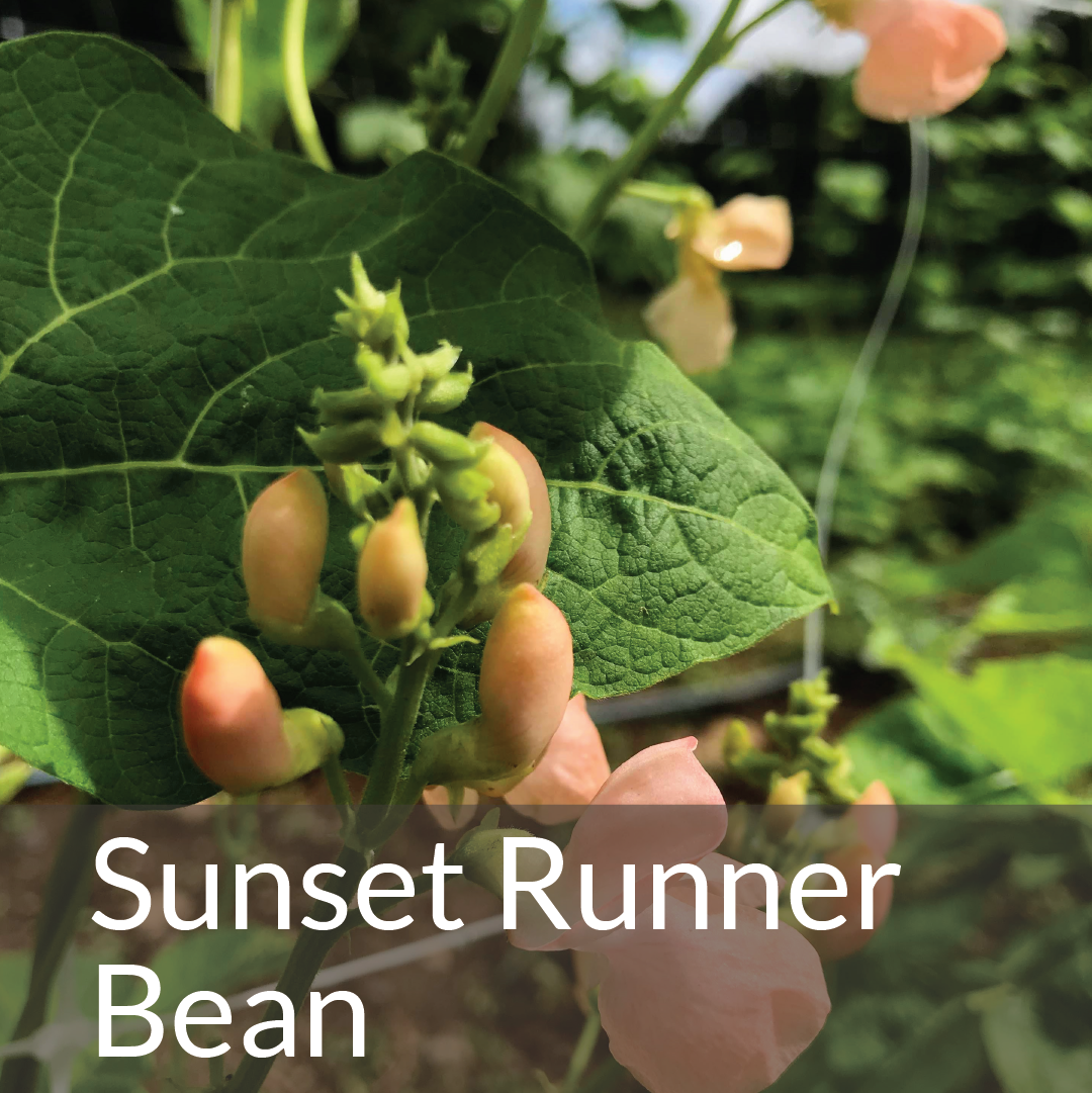 Sunset Runner Bean