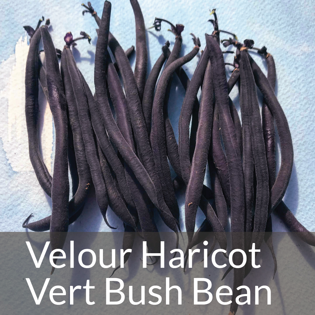 Velour Haricot Vert Bush Bean