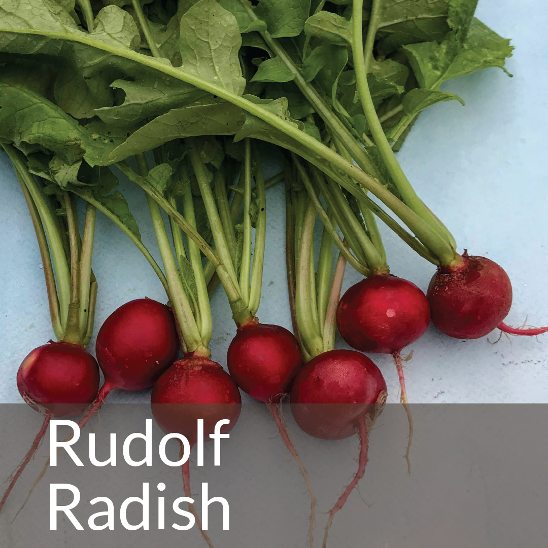 Rudolf Radish