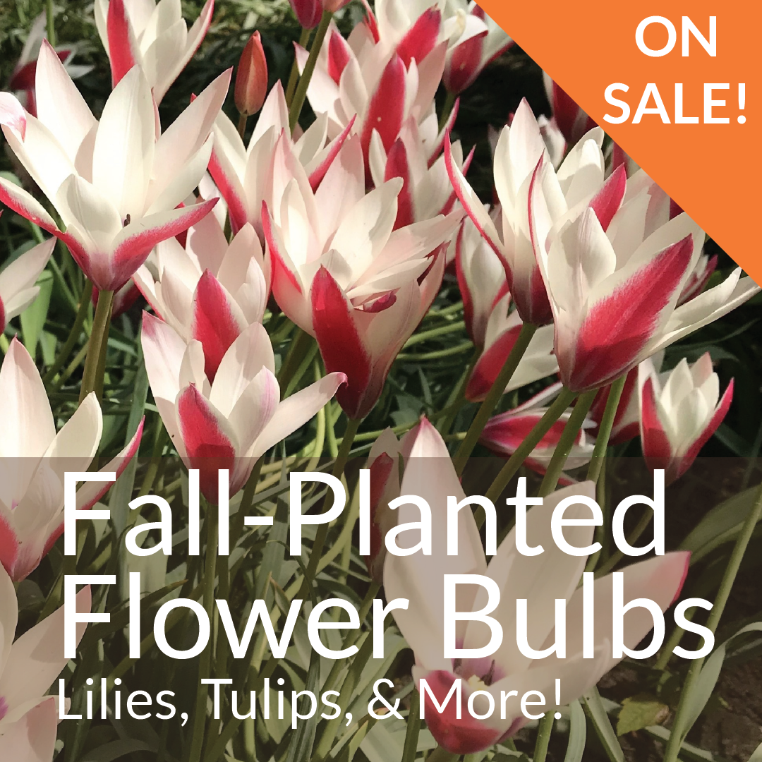 Fall-Planted Flower Bulbs