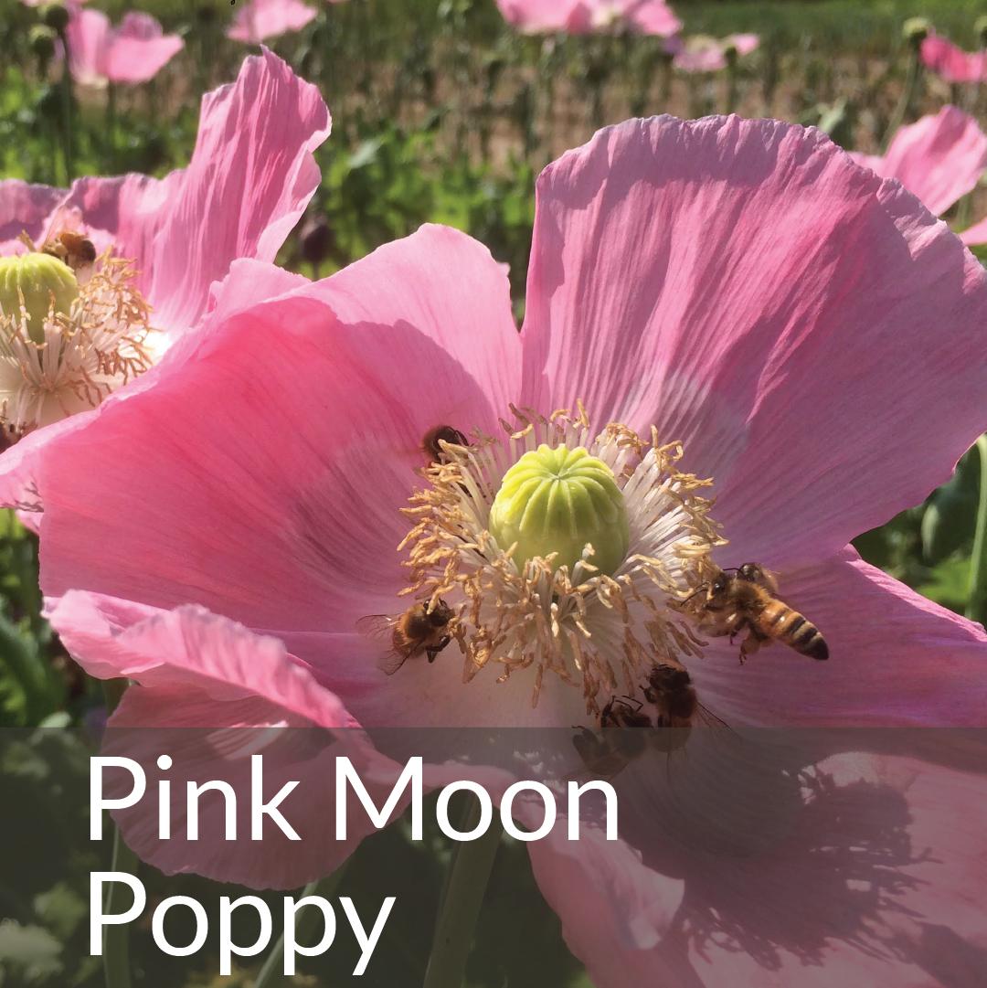 Pink Moon Poppy