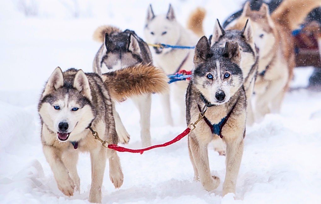Grand Mesa Summit Challenge Sled Dog Race: the country's highest dog sled race, with elevations of 10,500 feet or higher, runs across the world's largest flat-topped mountain near Grand Junction Colorado.