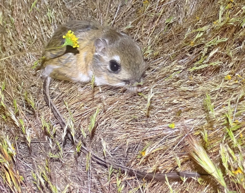 Stephens' kangaroo rat