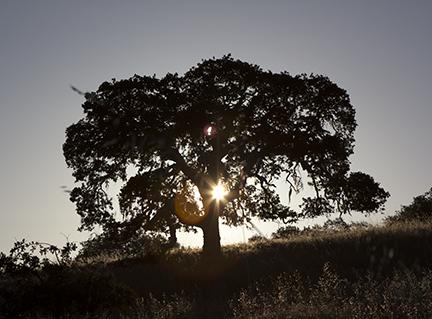 oak at Hastings Natural History Reservation