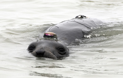 Female elephant seal swimming at the surface with a GPS tag glued to her head