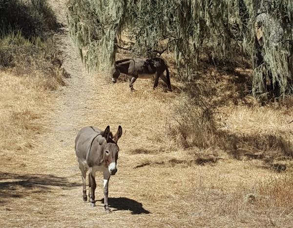 Sedgwick reserve donkeys