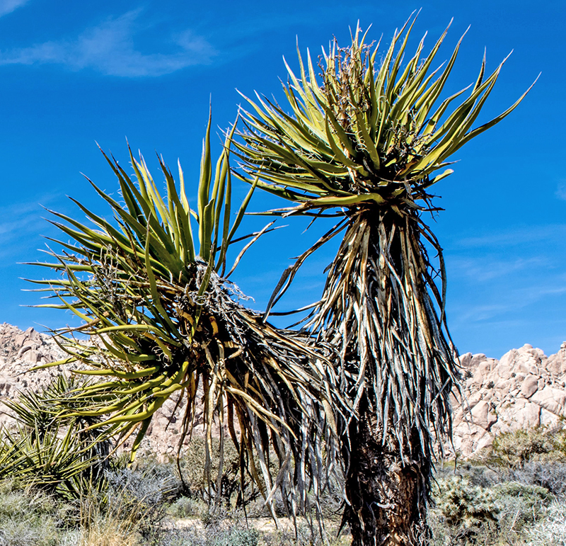 Yucca schidigera plant against rocks of Granite Mountains reserve