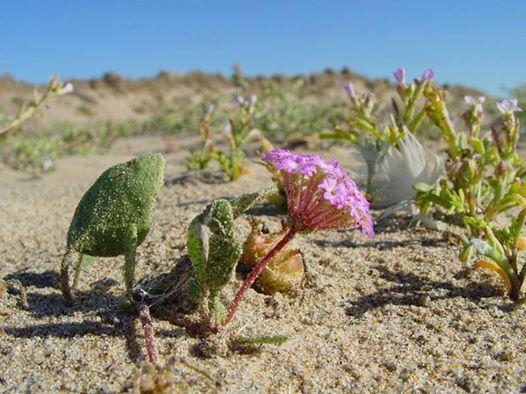 Abronia umbellata, courtesey Pescadero State Park