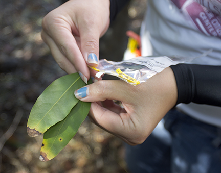 Signs of sudden oak death disease on bay laurel leaves