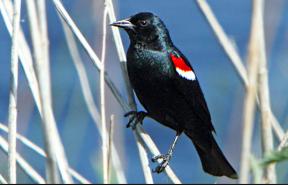 tricolor blackbird